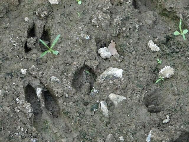 Some deer tracks in the mud-what is the best deer attractant