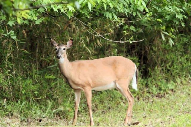 what is the best whitetail deer attractant