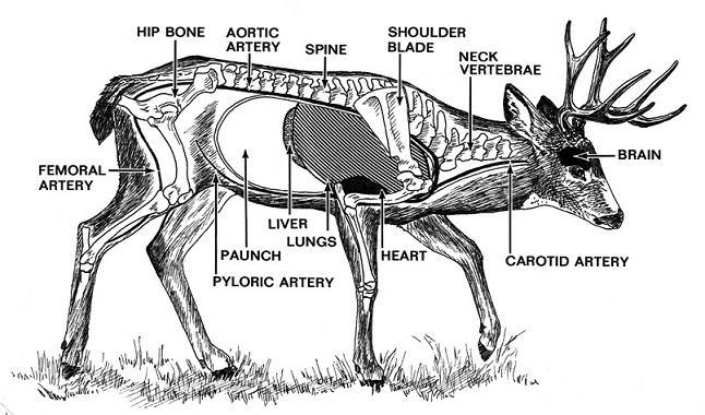 where to shoot a deer with a bow