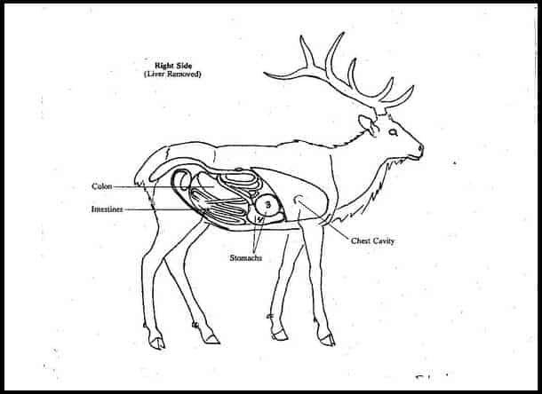 How much does an elk weigh