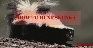 How To Hunt Skunks Without Being Sprayed At?