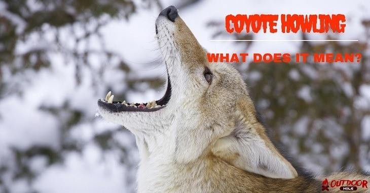 what does it mean when coyotes howl alone or together