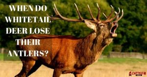 When Do Whitetail Deer Lose Their Antlers? What You Need To Know?
