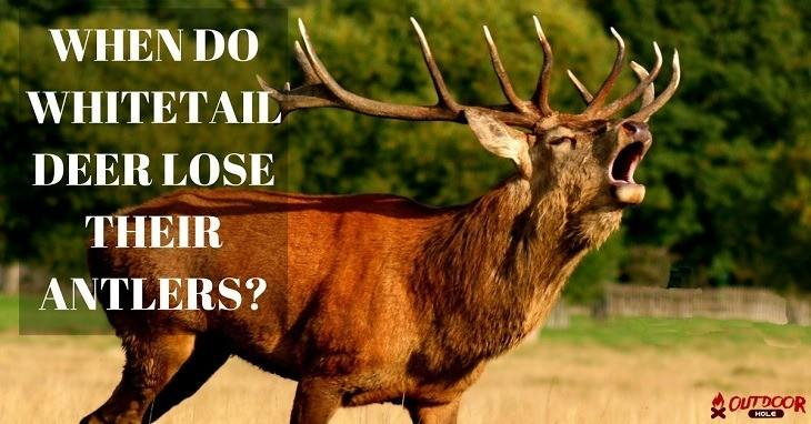 when do whitetail deer lose their antlers
