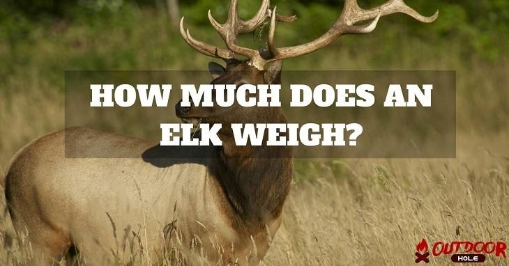how-much-does-an-elk-weigh