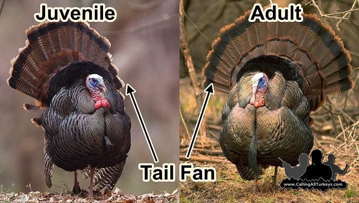 how-long-do-wild-turkeys-live