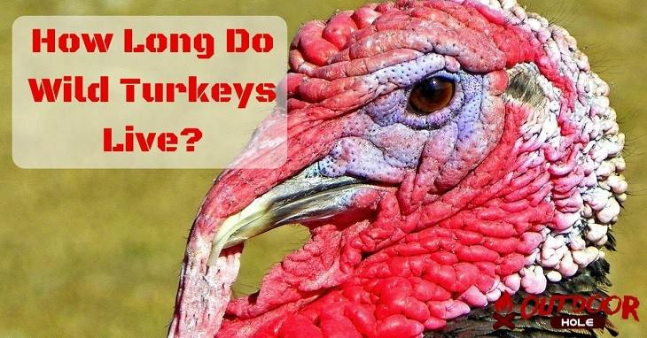 how-long-do-wild-turkeys-live