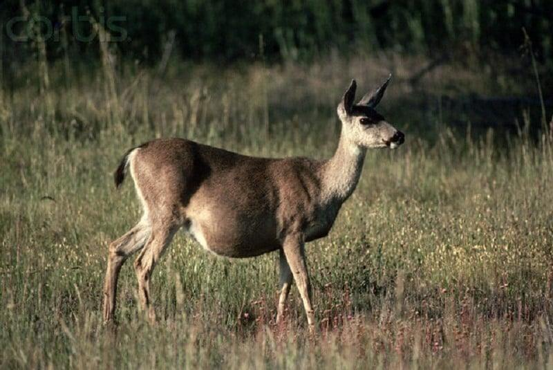 How-long-are-deer-pregnant-1