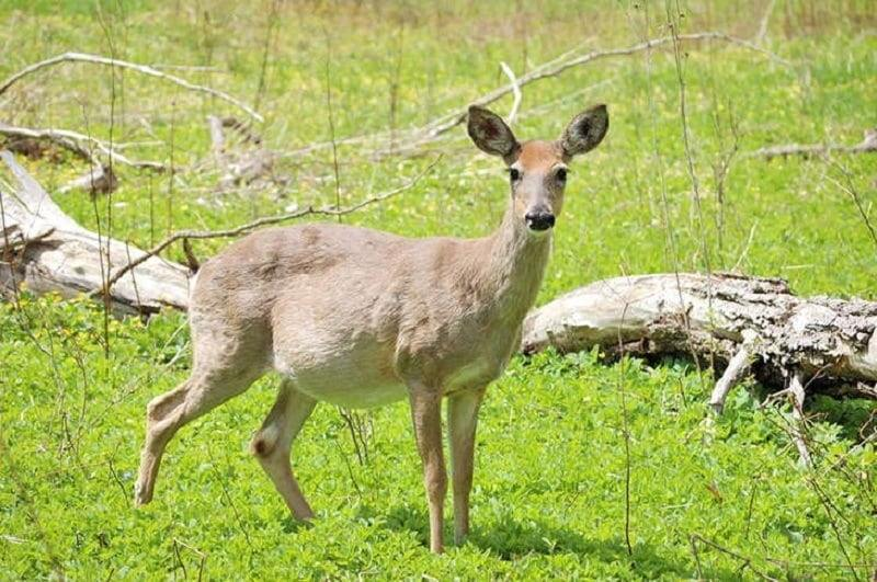 How-long-are-deer-pregnant-2