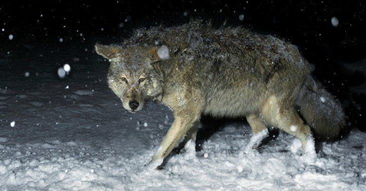 How To Learn Hunting Coyotes At Night Even In The Off Season?